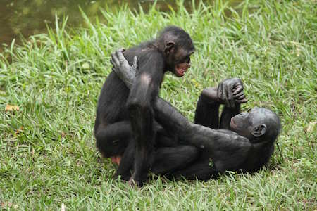 bonoboabe sex